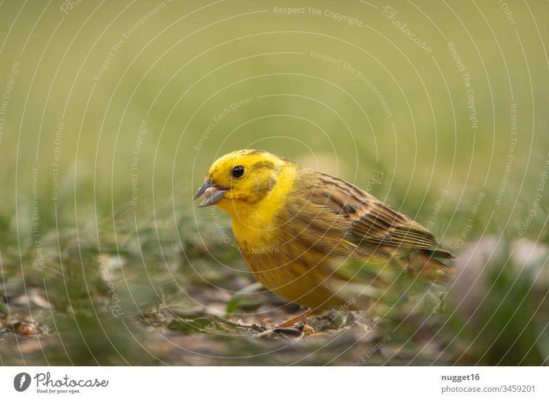 Goldammer bei der Futtersuche im Gras Vogel Gelb Tier Singvogel Natur Außenaufnahme Farbfoto Tag gelb Tierporträt Singvögel Wildtier Menschenleer