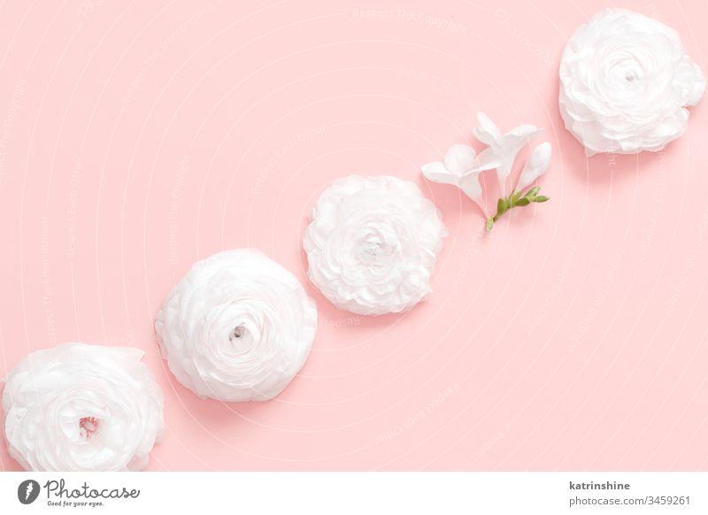 Cremefarbene Hahnenfußblüten auf hellrosaem Hintergrund Blume Sahne Ranunculus Frühling anders einzeln Vielfalt Wandel & Veränderung romantisch Pastell