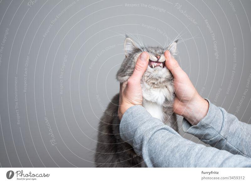 Untersuchung der Zähne einer jungen Maine Coon Katze niedlich bezaubernd schön katzenhaft fluffig Fell Rassekatze Haustiere Langhaarige Katze weiß blau gestromt