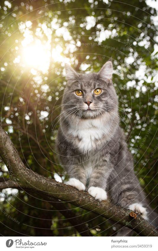 Maine Coon Katze klettert auf dem Ast eines Baumes im Sonnenlicht niedlich bezaubernd katzenhaft fluffig Fell Rassekatze Haustiere Langhaarige Katze Katzenbaby