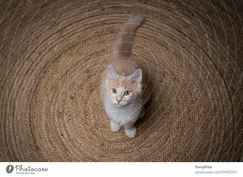 junge Maine Coon Katze steht auf einem Sisal Teppich und sieht nach oben 2-5 Monate bezaubernd Wachsamkeit schön Betteln - Verhalten von Tieren kreisrund