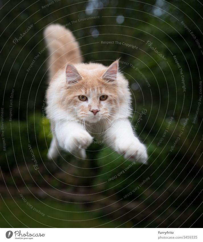 Maine Coon Katze fliegt in der Luft Fell Katzenbaby fluffig katzenhaft Rassekatze Langhaarige Katze junge Katze Creme-Tabby beige Hirschkalb weiß springend Air
