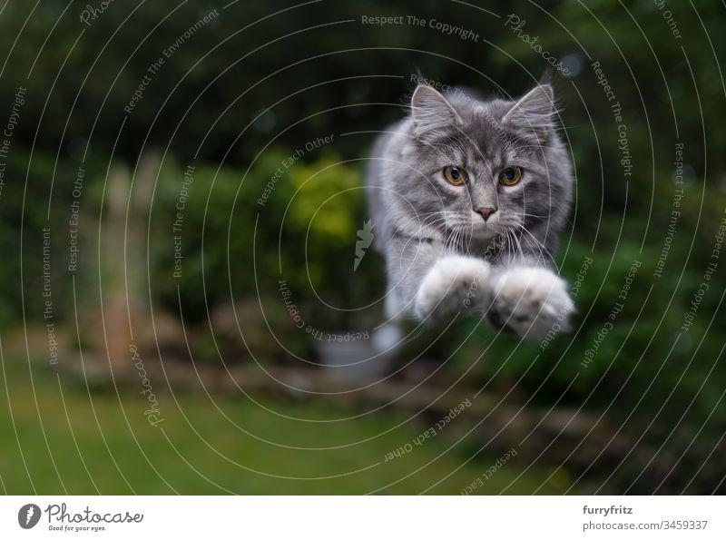 Maine Coon Katze springt im Garten Fell Katzenbaby fluffig katzenhaft Rassekatze Langhaarige Katze junge Katze weiß blau gestromt springend Air schnell