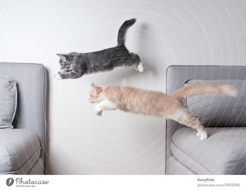 Zwei Maine Coon Katzen springen glechzeitig über das Sofa Katzenbaby springend Zwei Tiere Liege Air blau gestromt fangend Ziselierung Textfreiraum Creme-Tabby