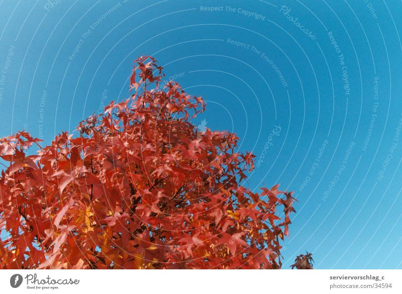 Roter Baum rot ruhig Herbst Platane Himmel blau Graffiti