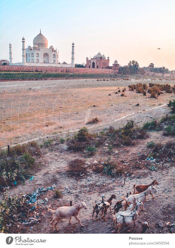 Ziegen am Taj Mahal Indien Agra Hinduismus Herde Fernreise reisen Reisefotografie Sehenswürdigkeit Tourismus Mausoleum Armut