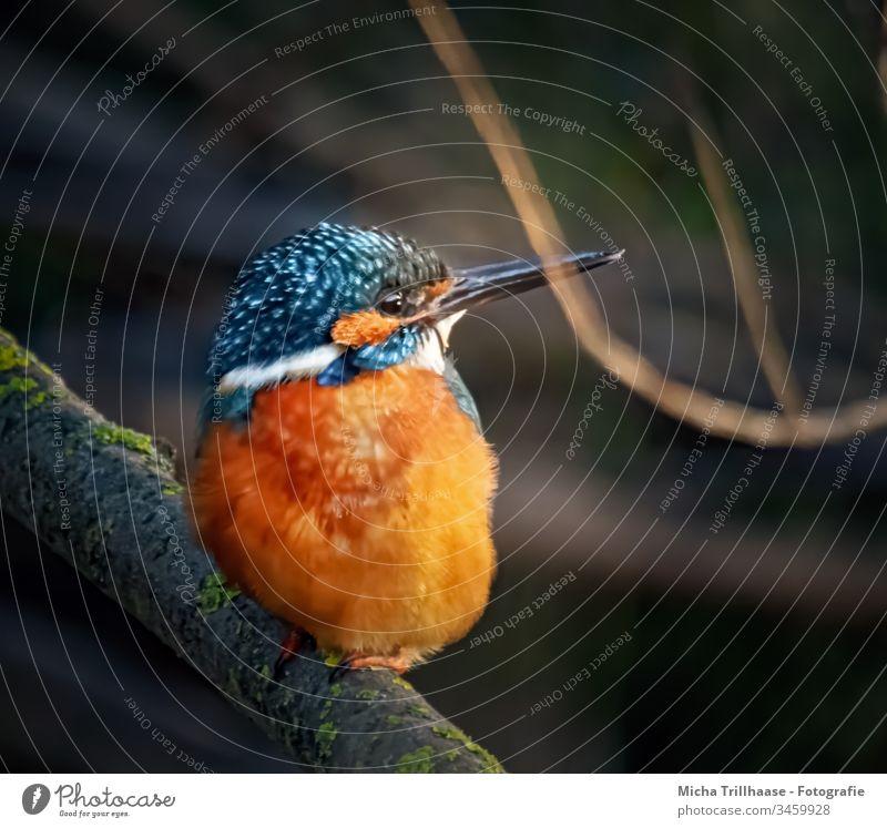 Eisvogel sieht sich um Alcedo atthis Vogel Wildtier Natur Sonnenlicht Tier Kopf Schnabel Auge Flügel Federn Gefieder leuchtend strahlen Seeufer Menschenleer