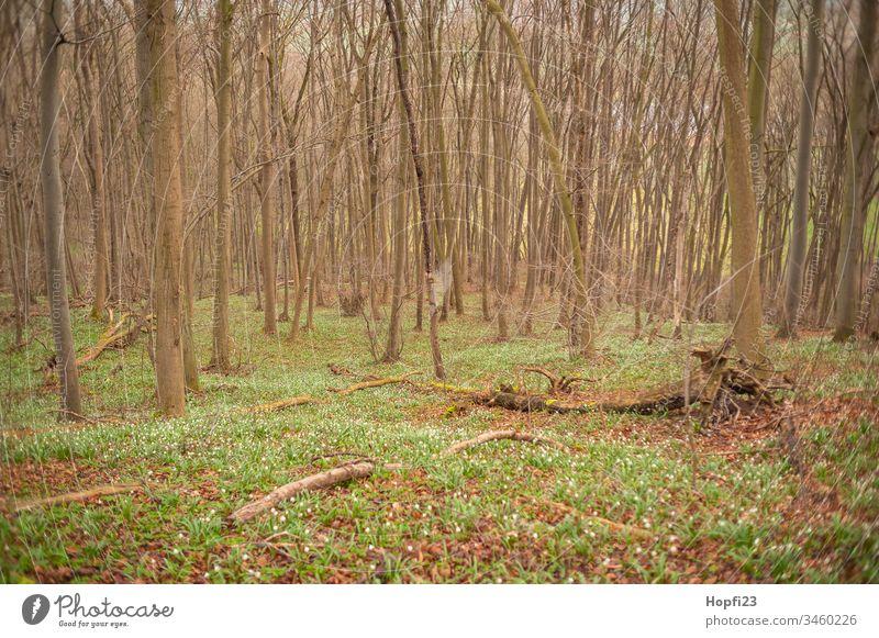 Märzenbecher Blüte im Wald Märzenbecherwald Frühling Pflanze Farbfoto Außenaufnahme Blume Natur Menschenleer grün weiß Frühlingsgefühle Tag Blühend schön