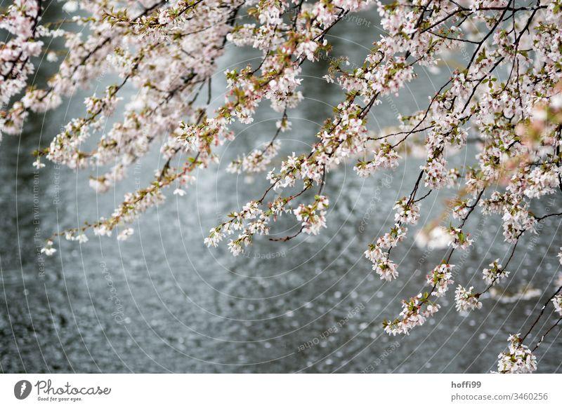 Frühlingsblüten bei Regen im Park Frühlingsgefühle Baum Blüte Teich Pflanze Natur natürlich nass hell frisch Beginn Wassertropfen glänzend schlechtes Wetter