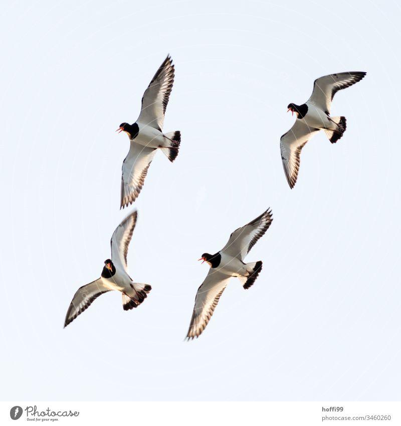 vier Austernfischer im freien Flug Hoffi99 Schillig minimalistisch Natur Nordsee Tierporträt schreien fliegen maritim frisch Küste Himmel Schönes Wetter