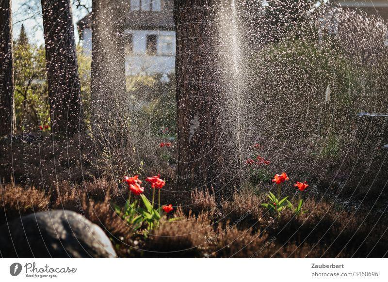 Garten mit Heidekraut und Tulpen im Abendlicht, darüber Wasserstrahl und Wassertropfen Frühling Gegenlicht Sonne Tropfen Strahl Gischt Bewässerung bewässern