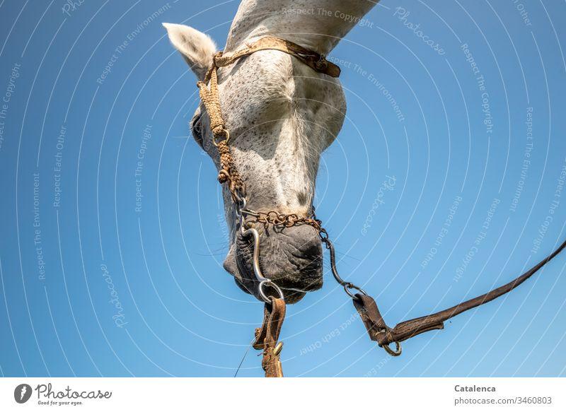 Pferdekopf aus der Froschperspektive Tier Nutztier Schimmel Tierporträt Detailaufnahme Zaumzeug Trense Himmel schönes Wetter Grau Blau Weiss Natur Zügel Fell