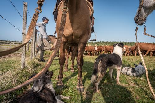 Der Junge Mann lehnt am Zaun der Koppel, Pferde, Hunde und Rinder warten mit ihm. Junger Mann Kühe Nutztiere Zsun Gras Himmel Sommer Weide Landwirtschafr Wiese