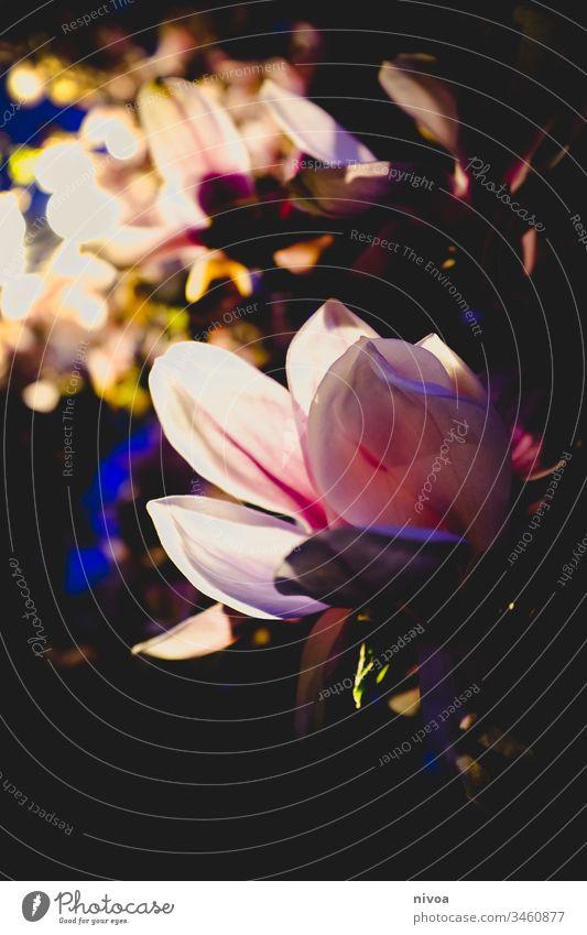 Blüten in der Nacht Baum blühen strahlend Strahlung Licht angestrahlt Lichterscheinung Abend rosa Außenaufnahme Menschenleer blau Natur dunkel Himmel Schatten