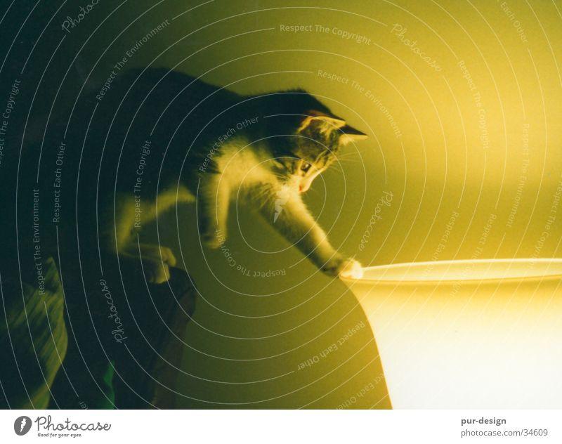 anton_im_licht Tier Lampe Katze Stimmung Neugier Wohnzimmer Hauskatze