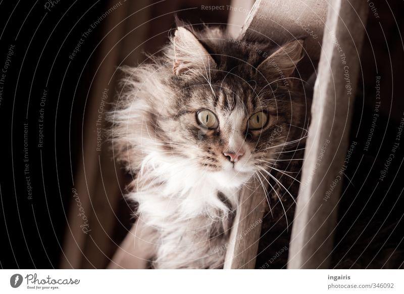Katzenaugen Tier Haustier Tiergesicht Fell Hauskatze 1 Leitersprosse Blick außergewöhnlich natürlich braun grau schwarz Stimmung Sympathie mystisch Holz