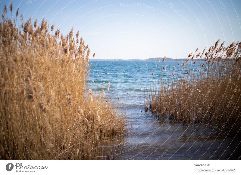 Schilf im Detail see wasser schilf schilfrohr gräser frühling erholung tagebau geflutet braunkohlebau gewässer badesee landschaft natur abendlich abendstimmung