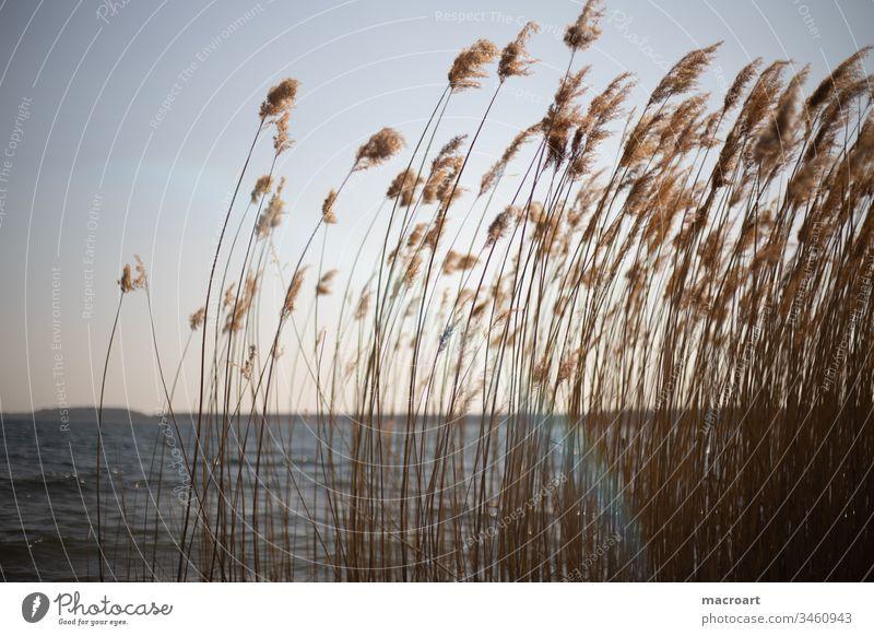 Schilf im Detail see wasser abendsonne abendrot schilf schilfrohr gräser frühling erholung tagebau geflutet braunkohlebau gewässer badesee landschaft natur