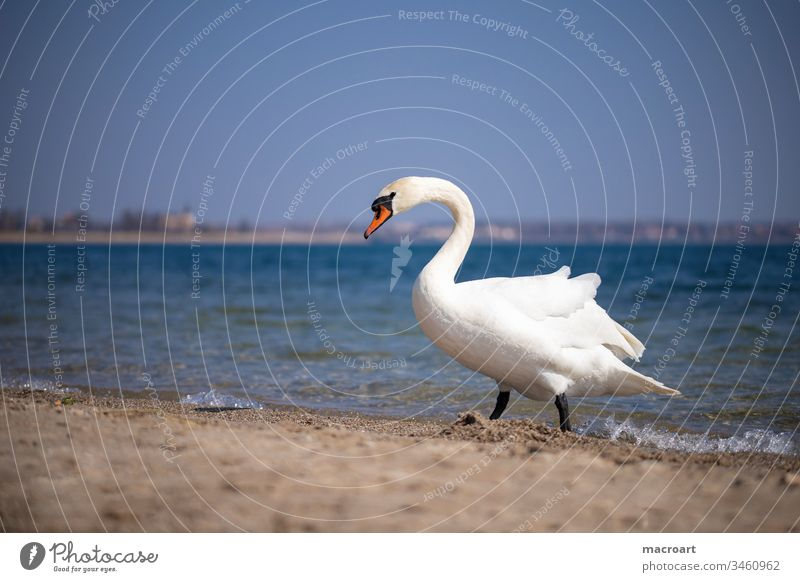 Schwan am Strand Wasser Vogel Feder See Tier weiß Außenaufnahme Hals schön elegant Teich Wellen Natur Gewässer Sandstrand