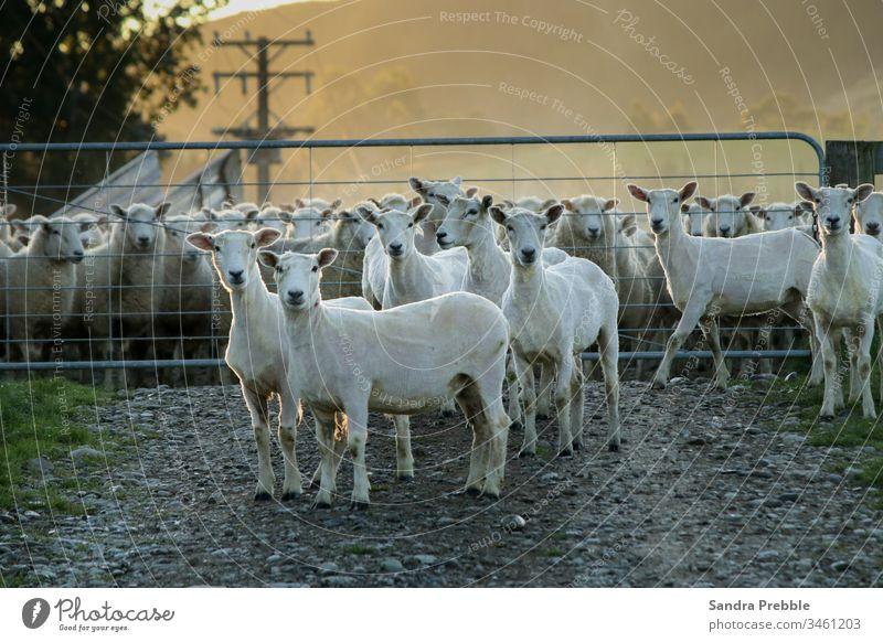 Die ersten geschorenen Schafe des Tages Dipton Sandra Prebble Landwirtschaft Mob Morgen Oeti-Ansicht Scheren Schaf Oreti-Fluss Wolle Tier Nutztier Neuseeland