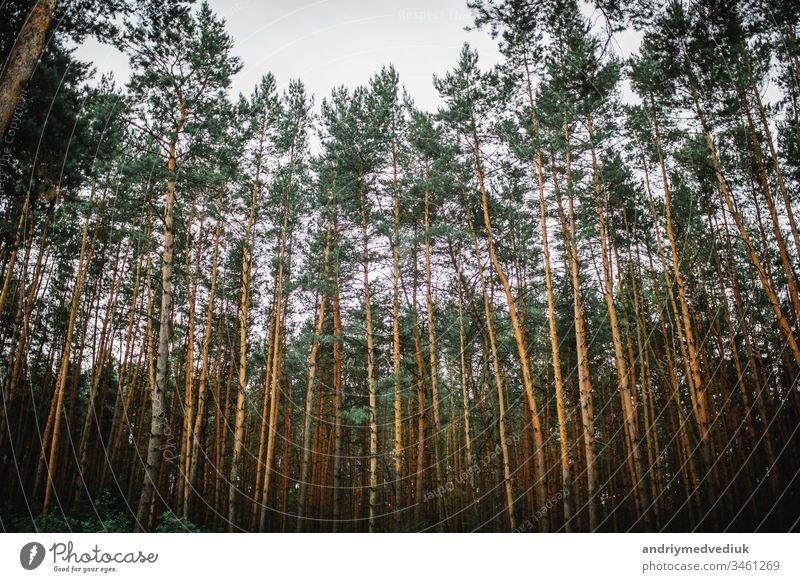 Ein faszinierender Kiefernwald. Hintergrund des Waldes Natur schön Landschaft Ansicht Baum Schönheit natürlich im Freien Winter grün weiß Park Himmel Saison