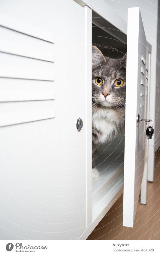 Katze versteckt sich in einem weißen Schrank Haustiere Rassekatze katzenhaft Fell fluffig Langhaarige Katze Maine Coon blau gestromt im Innenbereich niedlich