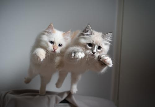 Zwei verspielte sibirische Langhaar Kätzchen springen gleichzeitig vom Sofa ab Katze keine Menschen niedlich Katzenbaby katzenhaft fluffig Fell Haustiere