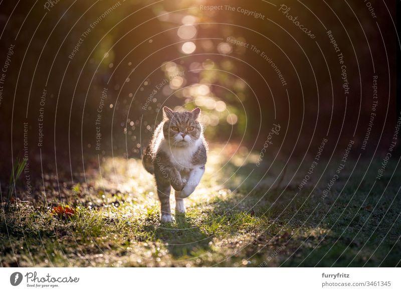 Katze rennt im Sonnenlicht in der Natur Haustiere Rassekatze Ein Tier Britisch Kurzhaar weiß Tabby im Freien Botanik Garten Vorder- oder Hinterhof Rasen Wiese