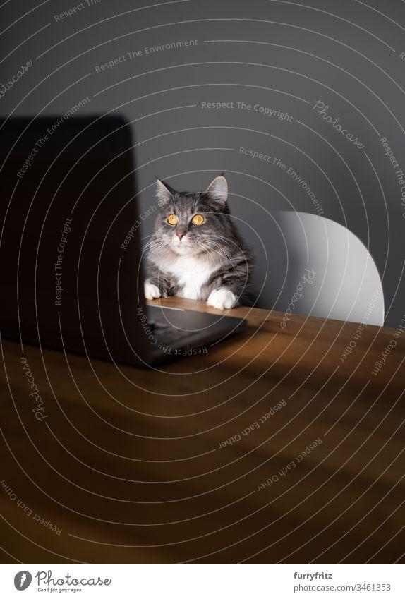 Maine Coon Katze arbeitet am Laptop und sieht auf den Bildschirm keine Menschen Haustiere Rassekatze Langhaarige Katze blau gestromt weiß Computer Notebook