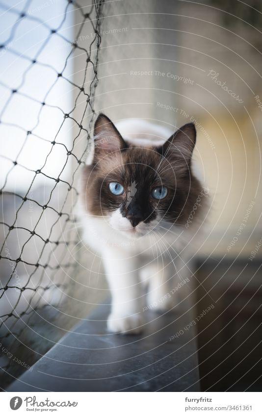 Heilige Birma bzw. Ragdoll Katze läuft auf dem Balkon mit Katzen Schutz Netz in die Kamera schauen Katzenfangnetz Wachsamkeit tierisches Auge Schönheit hinten