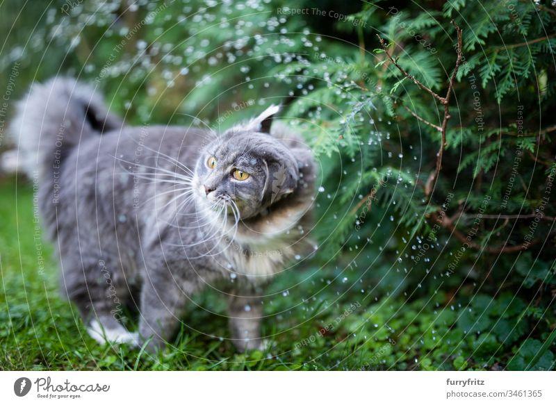 Maine Coon Katze steht im Regen und schüttelt sich niedlich bezaubernd schön katzenhaft fluffig Fell Rassekatze Haustiere Langhaarige Katze weiß blau gestromt