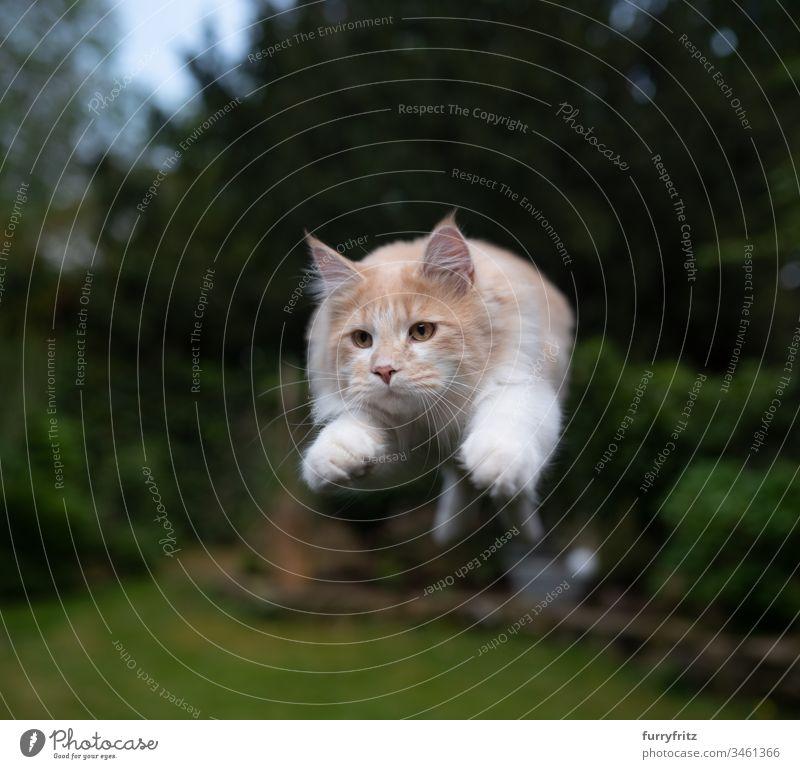Maine Coon Katze springt im Garten Fell Katzenbaby fluffig katzenhaft Rassekatze Langhaarige Katze junge Katze Creme-Tabby beige Hirschkalb weiß springend Air