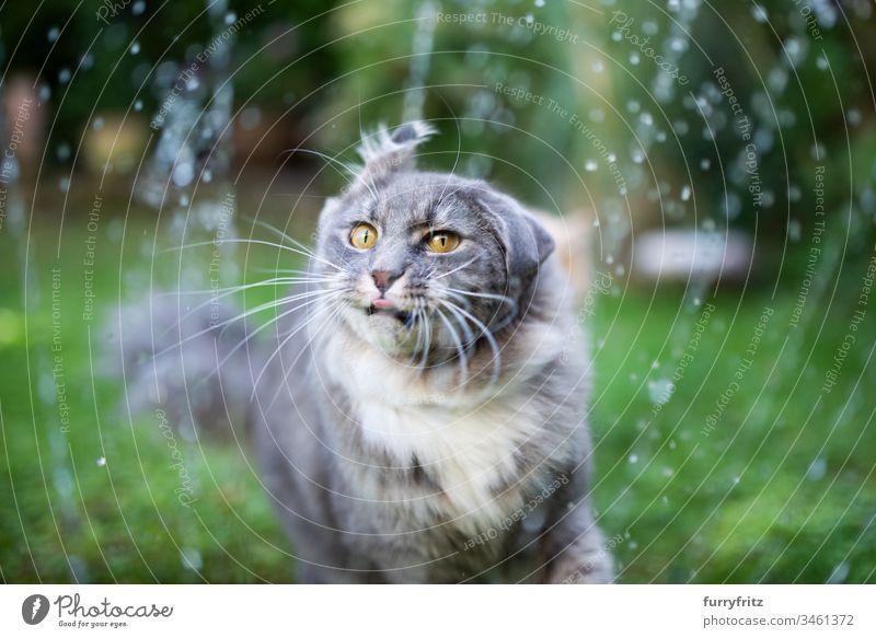 Maine Coon Katze wird nass und schüttelt ihren Kopf niedlich bezaubernd schön katzenhaft fluffig Fell Rassekatze Haustiere Langhaarige Katze weiß blau gestromt