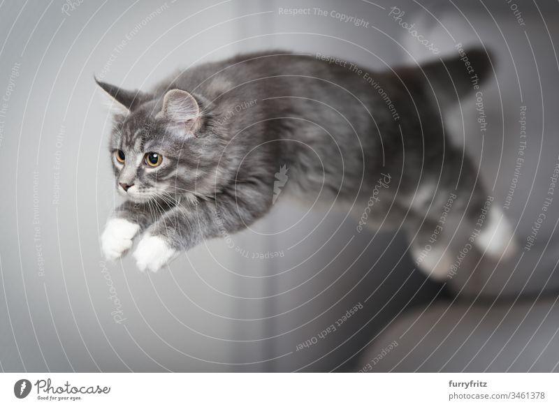 Maine Coon Kätzchen springt über die Couch Katzenbaby springend Air blau gestromt Bokeh fangend Ziselierung Liege Kissen niedlich fallen schnell katzenhaft