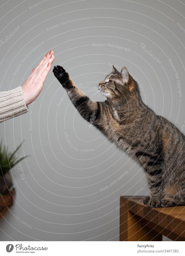 Katze trainiert mit Katzenhalter Pfötchen geben Tierhalter menschliche Hand Klicker-Schulung high five hebende Pfote Tierverhalten Neugier Lernen Training