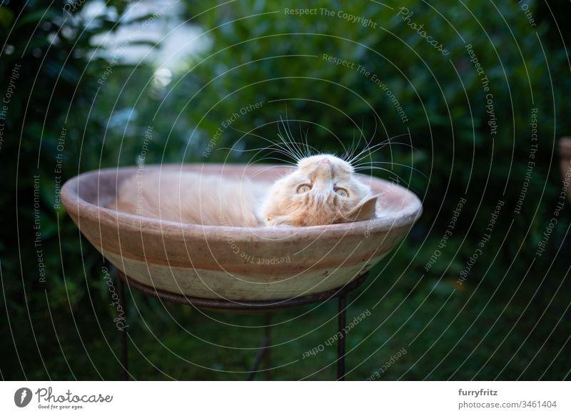 Maine Coon Katze entspannt und liegt in einem Blumentopf im Garten Tierverhalten bequem Neugier Genuss lustig Faulheit auf der Seite liegend beobachtend