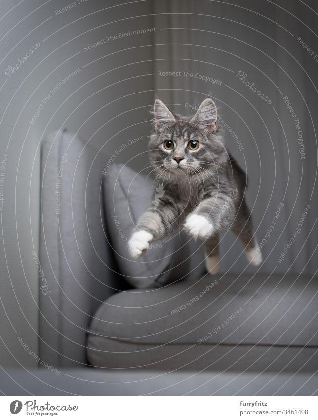 blue tabby Maine Coon Kitten springt über das Sofa und fliegt in der Luft fliegen Katzenbaby springend blau gestromt Air fangend Ziselierung Liege Kissen