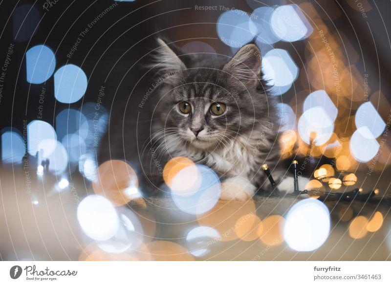 blue tabby Maine Coon Kitten umgeben von Lichterketten Bokeh 12 Wochen 2-5 Monate bezaubernd Abenteuer Baby schön blau gestromt Bokeh Lichter Katze Weihnachten