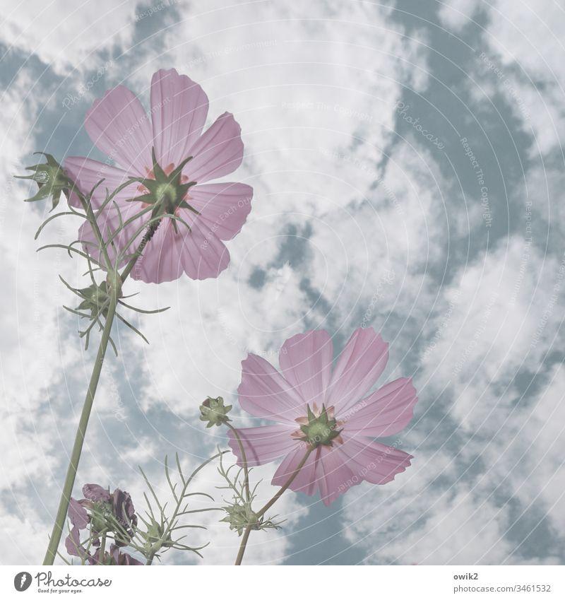 Radarstation Blume Cosmea Cosmeablüte Blüten wachsen lila hell Himmel Wolken Froschperspektive Frühling Nahaufnahme Garten Wiese Natur Pflanze Außenaufnahme