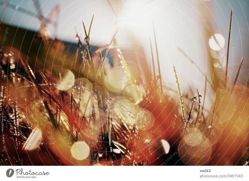 In der Wildnis Makroaufnahme Nahaufnahme nass unten Froschperspektive Wiese Gras leuchtend Halme Grashalme Wassertropfen Schwache Tiefenschärfe räumlich Sonne