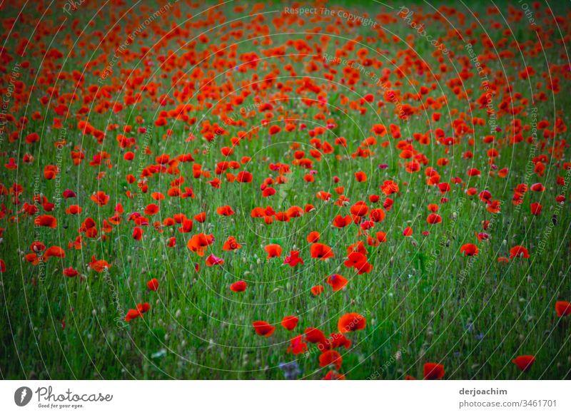 Eine Grüne Wiese mit Klatschmohn Mohn Blume rot Blüte Sommer Pflanze Natur Mohnblüte Außenaufnahme Farbfoto Feld Mohnfeld Menschenleer Schwache Tiefenschärfe