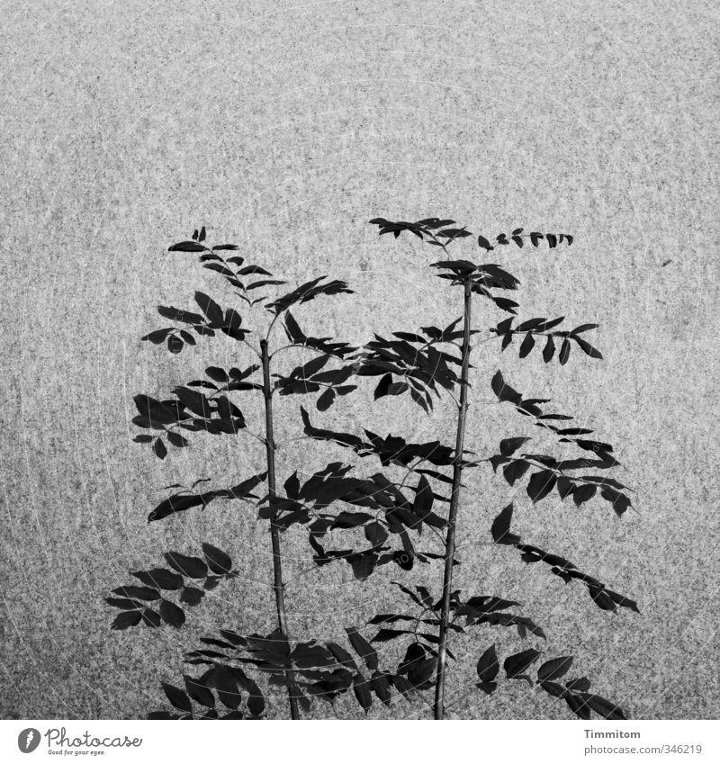 Schattenblätter [CHAMANSÜLZ 2011] Pflanze Blatt schwarz Wand Mauer grau Zufriedenheit Wachstum ästhetisch einfach graphisch