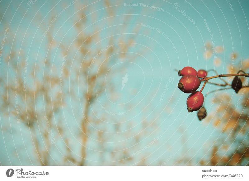vorhut Umwelt Himmel Herbst Schönes Wetter Sträucher blau rot Hagebutten Beeren Frucht Pflanze Natur Geäst Farbfoto Außenaufnahme Menschenleer