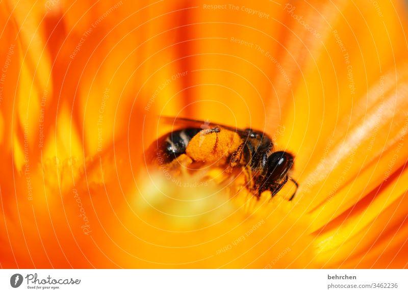 fleißiges bienchen Biene Blume Blüte Pflanze Blütenstaub Honig Honigbiene gelb orange Garten Wiese Natur Sommer Frühling hübsch Wärme Blütenblätter fliegen