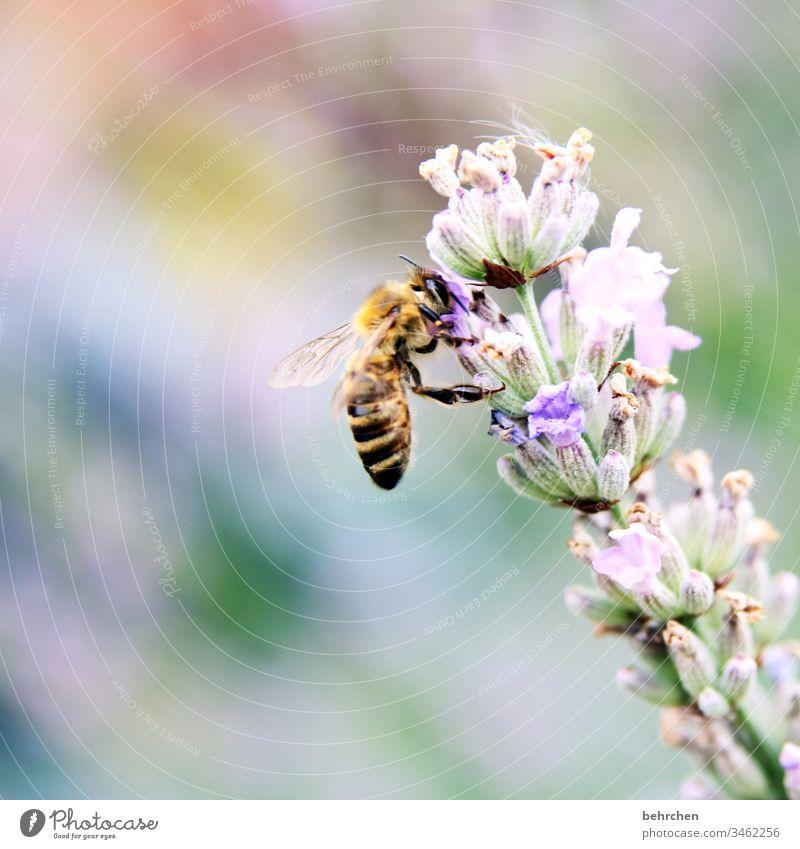 hier riechts doch nach... | lieblichem lavendel Natur Sonne Sommer Blume Lavendel Biene Blüte Honig Nektar Blütenstaub blühen Duft sommerlich fleißig fliegen