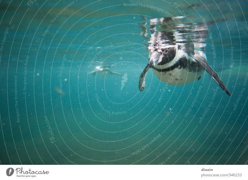 Taucher Umwelt Natur Wasser Tier Wildtier Vogel Zoo Pinguin Humboldt-Pinguin 2 Schwimmen & Baden tauchen kalt nass natürlich Farbfoto Unterwasseraufnahme