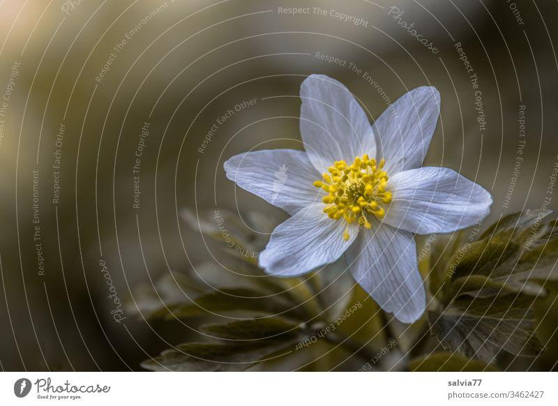 zarte Blüte in weiß-gelb, Buschwindröschen Makro Natur Pflanze Frühling Farbfoto Blühend Außenaufnahme Blume Schwache Tiefenschärfe Wachstum grün Makroaufnahme