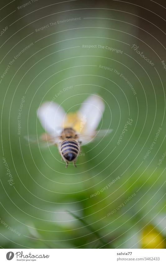 Biene fliegt auf weiße Blüte zu mit grünem Hintergrund Natur Frühling Blume Makroaufnahme Außenaufnahme Schwache Tiefenschärfe Blühend Farbfoto Frühlingsgefühle