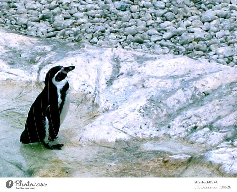 pinguin/2 Wasser kalt Eis Zoo Pinguin Wien Schloss Schönbrunn