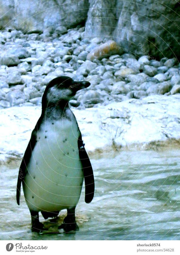 pinguin/1 Wasser Einsamkeit Tier kalt Eis Zoo Pinguin Wien Schloss Schönbrunn